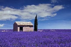 Lavender in Provence, South of France