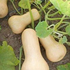 Sow and plant cucurbits: squash pumpkins pumpkins Garden Planters, Horticulture, Garden, Small Garden, Plants, Permaculture Gardening, Vegetation, Agriculture, Vegetable Garden