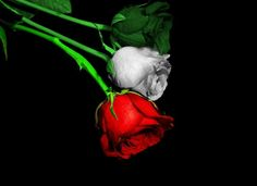 Italian Pride Roses