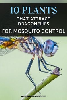 Not only do dragonflies control mosquito populations – they help control other bugs, too, like midges. Garden Yard Ideas, Lawn And Garden, Garden Projects, Indoor Garden, Outdoor Plants, Outdoor Gardens, Veggie Gardens, Vegetable Garden, Outdoor Spaces