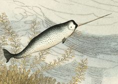 narwhals. the unicorns of the sea.