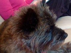 My cairn terrier Maisie