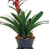 Tropical Bromeliad Care, Buy Bromelaid Flower & Bromeliad Plant s