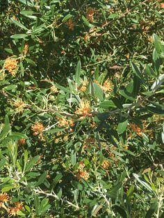 Grevillea olivacea flowers in spring