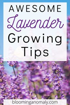Get the most out of your lavender with help from this post. Learn about the different types of lavender you can grow and what you can use them for. Click on the pin for some awesome lavender growing tips. #lavender Lavender Uses, Dried Lavender Flowers, Growing Lavender, Lavender Sachets, Organic Gardening, Gardening Tips, Garden Tools, Garden Ideas