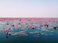 redlipstickresurrected: Kwanchan - Water Lily, Udonthani, Thailand Photography