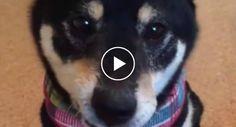 Veja a Incrível Rapidez Que Este Cão Tem Em Apanhar a Comida Que Lhe Colocam Em Cima Do Nariz http://www.funco.biz/veja-incrivel-rapidez-cao-apanhar-comida-lhe-colocam-cima-do-nariz/