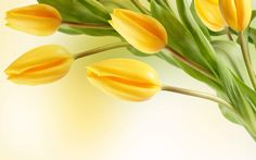 Find out: Yellow Tulips wallpaper on  http://hdpicorner.com/yellow-tulips/