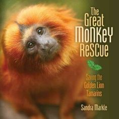 "A look at the plight of the golden lion tamarin for children.""-- Provided by publisher. Traces the effort to save the golden lion tamarin, whose habitat was being destroyed by logging, by applying knowledge of their unique family structure to housing them appropriately in captivity before releasing them into the wild."