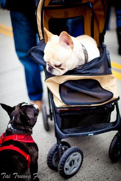 Two French Bulldogs:  -Oh you're still doing that whole walking thing?