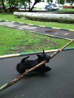 Bark like a Scottie and carry a BIG stick! a canine version of that Scottish log-flinging thing! I Love Dogs, Cute Dogs, Funny Animals, Cute Animals, Cairns, Husky, Terrier Dogs, Dog Life, Best Dogs