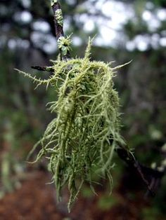 Usnea: Healing From the Forest » The Medicine Woman's Roots