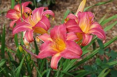 """Daylily Cherry Cheeks  32"""" Hardy down to Zone 2.   Full sun to partial shade."""