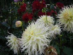 # Dahlia Flower Flowerbed Hd Flowers, Dahlia Flower, Wallpaper Backgrounds, Wallpapers, Desktop Windows, Iphone Mobile, Flower Beds, Den, Plants