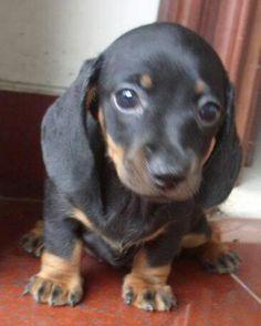Sweet baby. Miniature Daschund