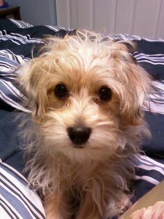 Yorkie Poo of cuteness!
