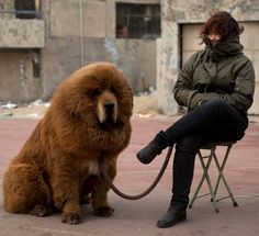 Looks Like The Warmest Creature On Earth - Lookit the size of the CABLE she has to have for a leash!!!!  Holy smokes!  The Tibetan mastiff can eat pitbulls for breakfast.  They are like canine lions.