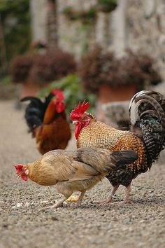 Roosters and Hens