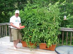 growing tomato in raised planters