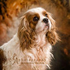Adult Cavalier King Charles Spaniel | Cavalier King Charles Spaniels Breeders, Sales | C & P Happy Tails
