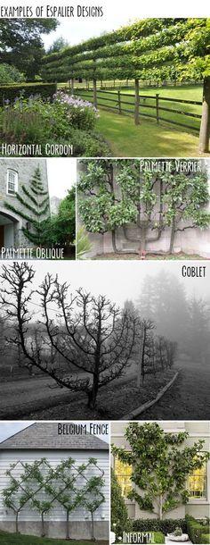 "landscapedesigning: "" Examples of espalier designs """