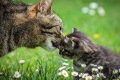 Cat Care 101 kitten development weeks - In this expert guide to pregnant cat care, you'll learn what to expect, what to feed a pregnant cat, how long before the kittens should be weaned and more. Cute Kittens, Baby Kittens, Animal Pictures, Cute Pictures, Pregnant Cat, Mother Cat, Photo Chat, Mothers Day Special, Cat Behavior