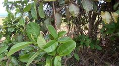 Cipó caboclo ou cipó carijó é um excelente remédio(Davilla rugosa)