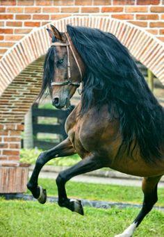 Champion Paso Fino stallion Principe de la Macarena, natural. photo Cheri Prill.