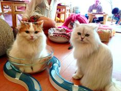 Cat cafe in Japan  http://www.smithsonianmag.com/travel/paying-purrs-japans-cat-cafes-180949536/?utm_source=smithsoniantopic&utm_medium=email&utm_campaign=20140209-Weekender