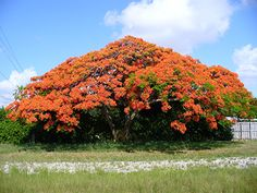 Royal poinciana is considered one of the most beautiful trees in the world by many who see this tropical beauty.  #July #RoyalPoinciana #Poinciana #Flowers #Tree #Shade