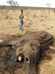 Elephant that has been illegally killed and his tusks stolen to be sold