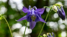 'Die blaue Blüte der Wald-Akelei' von Ronald Nickel bei artflakes.com als Poster oder Kunstdruck $6.48