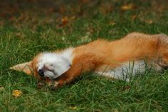 Relaxed fox cub stretching by crowlem, via Flickr