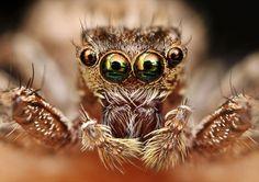 McSpider. ¿Sabías que la población mundial de #arañas consume al año más carne que la humanidad? Devoran entre 400 y 800 millones de toneladas de presas, mientras que nosotros consumimos 400 millones de toneladas entre carne y pescado. ©HRO
