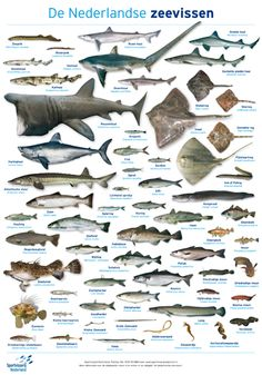 Sportvissers Nederlandse zeevissen Rare Animals, Animals And Pets, Fish Chart, Paper Crafts Origami, Ocean Creatures, Animal Cards, Zoology, Amazing Nature, Mother Nature