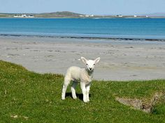 A wee lamb, Gott Bay, Isle of Tiree, Scotland Scotland Places To Visit, Animals Beautiful, Cute Animals, Isle Of Islay, Running On The Beach, Sheep And Lamb, Little Island, Inverness, Beautiful Places To Visit