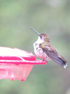 Ruby Throated Hummingbird: 29 April 2014, our backyard, Falls Church, VA, 9:00 a.m., 47 degrees, raining