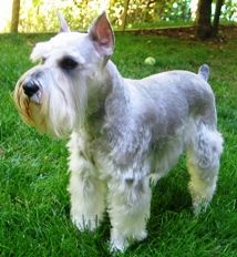 What Color Is My Schnauzer   My schnauzers, schnauzer color information page, schnauzer colors