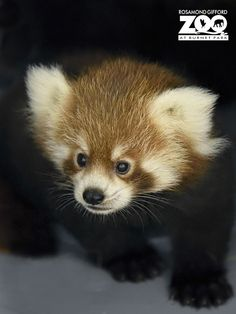 Baby red pandas are perhaps the cutest babies of all.