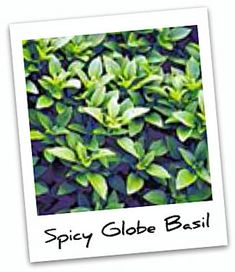 Spicy Globe Basil is a great smaller basil plant.