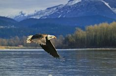 eagle pictures | ... archive www hickerphoto com bald eagle pictures bald eagle flying