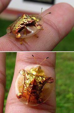 Golden Tortoise Beetle, OMG THIS IS WEIRD!!!!!!!!!!!!!!!!!!!!!!!!!!!!!!!!!!!!!!!!!!!!!!!!!!!!!!!!!!!!!!!!!