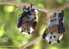 Grey-headed flying fox look at the lill baby! Nature Animals, Animals And Pets, Baby Animals, Funny Animals, Cute Animals, Strange Animals, Mundo Animal, My Animal, Beautiful Creatures
