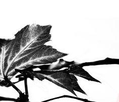 Fotografische Interpretation in #Monochrom. Projektarbeit / Serie. Elegant, modern und #zeitlos. One part of my series of #Photography.  Shown #leaves from an old tree, preparing in Monochrom. #Elegant and #modern #Black and #White #art, looks #surreal like an figure.  © 2015 Pia Schneider   atelier COLOUR-VISION. #kunst #kunstdrucke #artprints #fotografie #giftidea #geschenkidee #natur #blackandwhite #schwarzweiss #ohmyprints