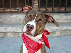 TO BE DESTROYED - 10/19/14 Brooklyn Center -P  My name is RICO. My Animal ID # is A1016826. I am a male brown and white pit bull. The shelter thinks I am about 1 YEAR   I came in the shelter as a STRAY on 10/08/2014 from NY 11212, owner surrender reason stated was OWN ARREST. I came in with Group/Litter #K14-197486.  https://www.facebook.com/Urgentdeathrowdogs/photos/a.611290788883804.1073741851.152876678058553/889498674396346/?type=3&theater