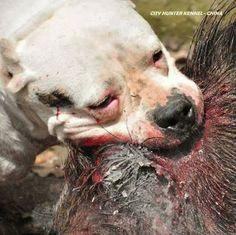 Dogo Argentino vs boar098