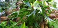 How to Care for a Staghorn Fern and Spores | eHow
