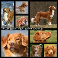 Nova Scotia duck tolling retriever, often simply called 'toller'. This breed is the smallest of the retrievers and was originally, like the name suggests, a duck tolling dog, used to lure ducks towards the hunter where the birds met their end.