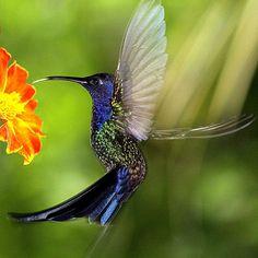 Foto beija-flor-tesoura (Eupetomena macroura) por Vera Méo | Wiki Aves - A Enciclopédia das Aves do Brasil