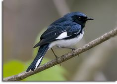 """Black-throated Blue Warbler [Photo Credit: Joe Kegley] Heading through our """"neighborhood"""" of Pisgah National Forest in the North Carolina mountains on its way to its winter abode in the… Pretty Birds, Beautiful Birds, Animals And Pets, Cute Animals, North Carolina Mountains, Funny Birds, Zoology, Birds Of Prey, Bird Feathers"""